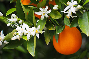 Orange Blossom Ice Cream Ingredient